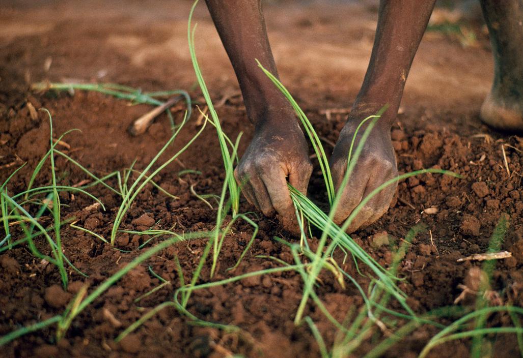 BURKINO FASO. Issigi. Planting and watering onion, lettuce & cabbage seedlings at Issigi on market gardening programme. 1991.